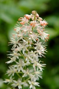 smoky-mountain-wildflowers-009