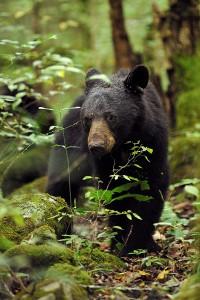 smoky-mountain-wildlife-001