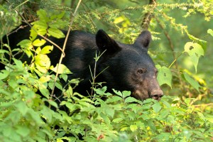 smoky-mountain-wildlife-011